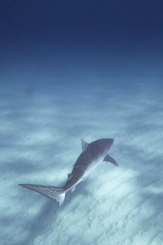 Swimming with tiger shark in Ningaloo Reef