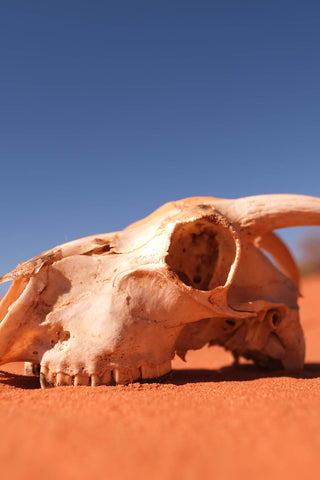 Skull of a goat on the red sands of Shark Bay