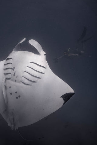 Manta ray exposes gill plates when rolling