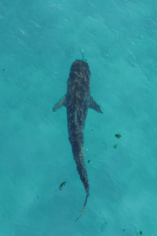 Tiger Shark photo from drone
