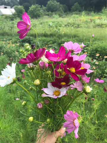 Organic Cosmos Flowers Bouquet Grown on Small Farm