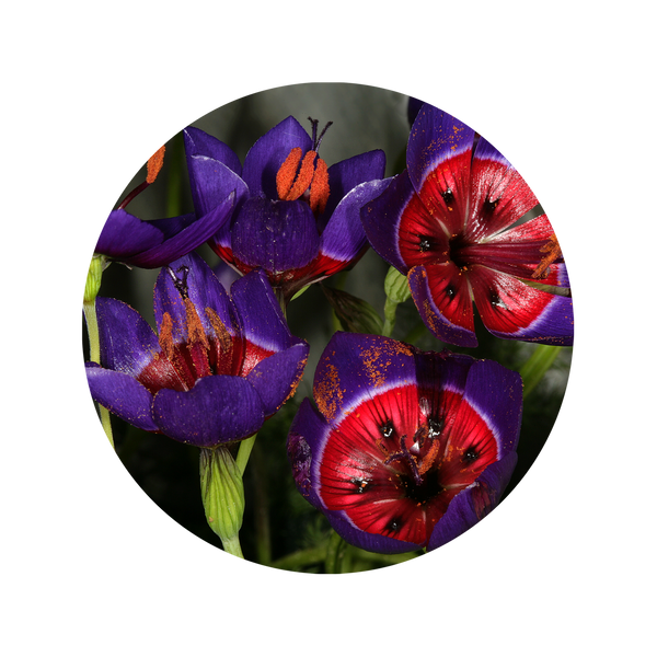 Geissorhiza Radians Bulbs - Flamingo Estate