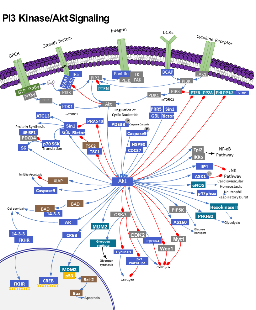 PI3K /AKT Signalling pathway and Human Diseases