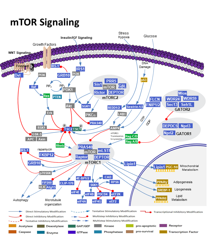 mTOR Pathway Regulates Cell Growth and Proliferation