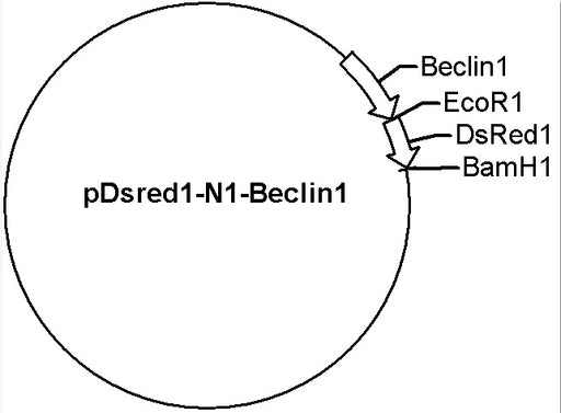 pDsRed1-N1-Beclin1