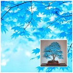 Rare Blue Bonsai Maple Tree Seeds