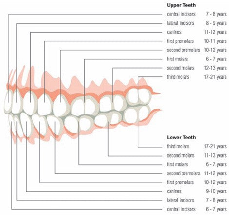 Ages of tooth development, for AutoBrush blog