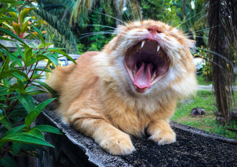 Yawning kitten, for AutoBrush blog