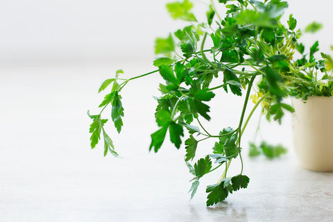 Parsley planted on a white pot with white background, for AutoBrush