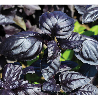 Amethyst Purple Basil
