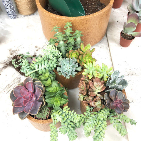 Hens and Chicks, Types of cactus, Types of Succulents