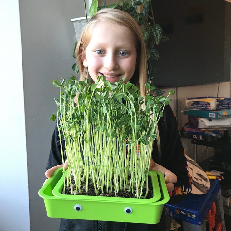 Indoor Gardening Kit gardening with kids Organic pea shoots