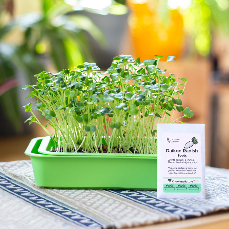 Indoor Garden of Organic radish microgreens and seeds in green planter