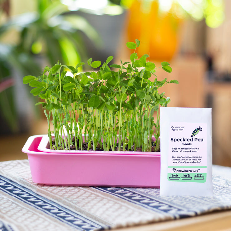 Indoor Garden of Organic pea shoots microgreens and seeds in pink planter