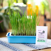 Indoor Garden of Organic wheatgrass microgreens and seeds in blue planter