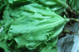 Organic Local Chinese Lettuce