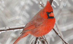 A red bird in a tree with branches that have frost on them.