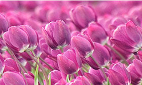 Violet coloured tulips in a field.