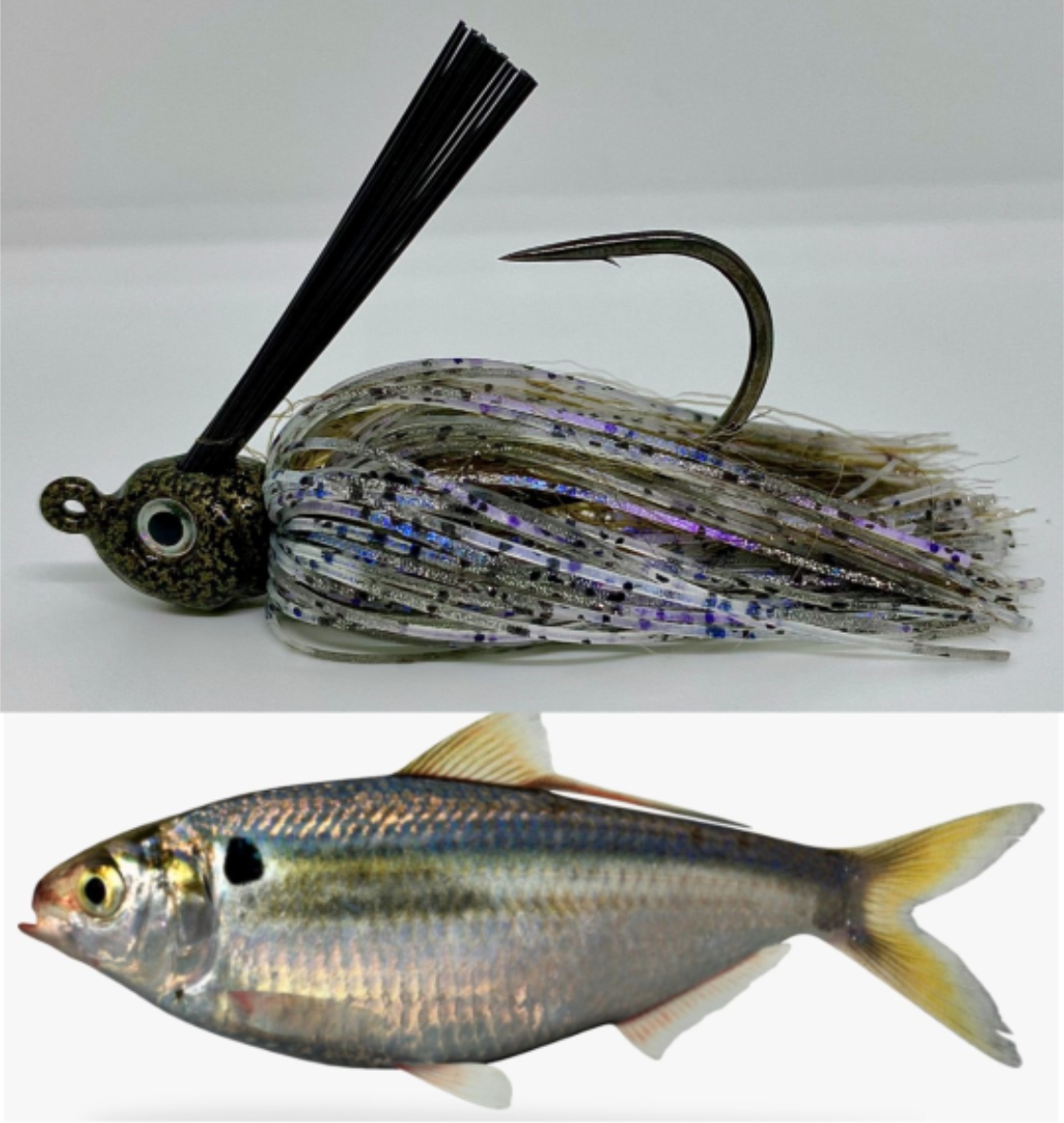 Gizzard Shad SW