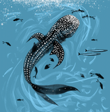 WHALE SHARK, PICTURE CARD (Single)