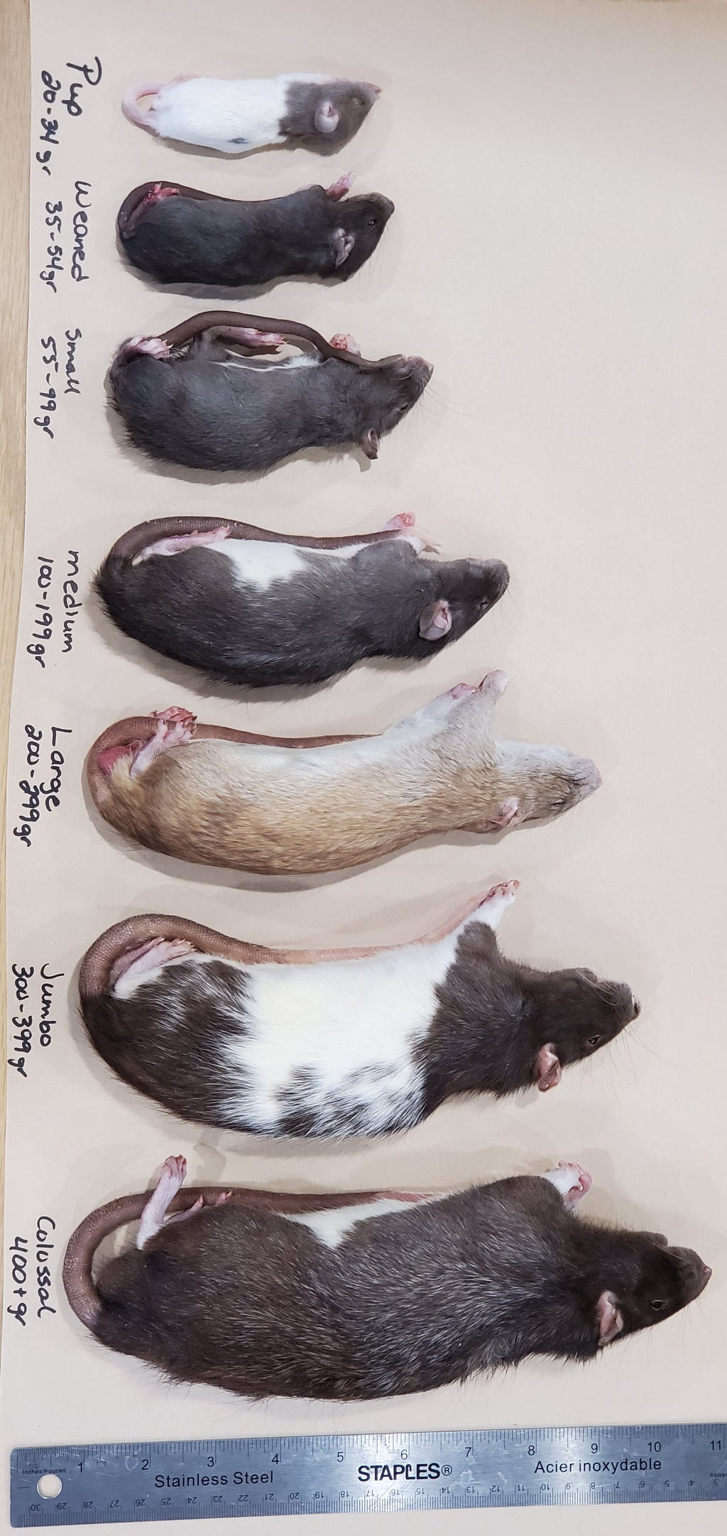 Rats Frozen Various Sizes