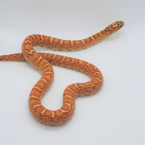Hypo Brooks King Snake