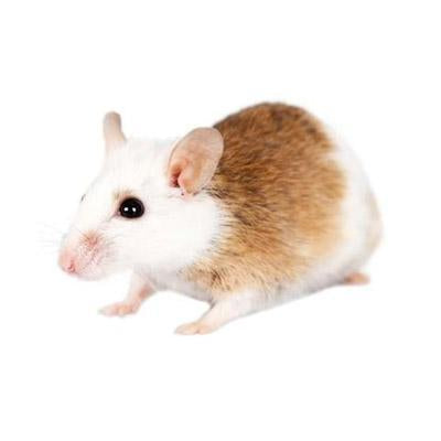 African Soft Fur Rat Frozen Various Sizes