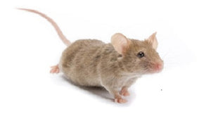 Mice Live Various Sizes