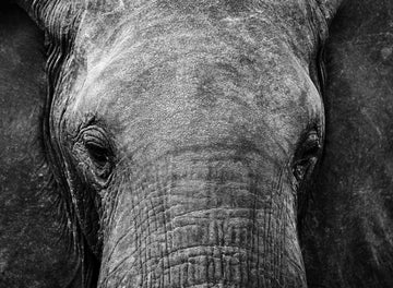 Inquisitive Elephant