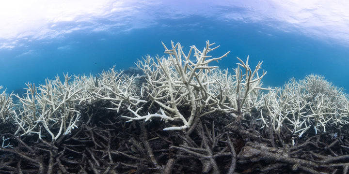 The Great Barrier Reef Suffers a Third Mass Coral Bleaching Event in Five Years