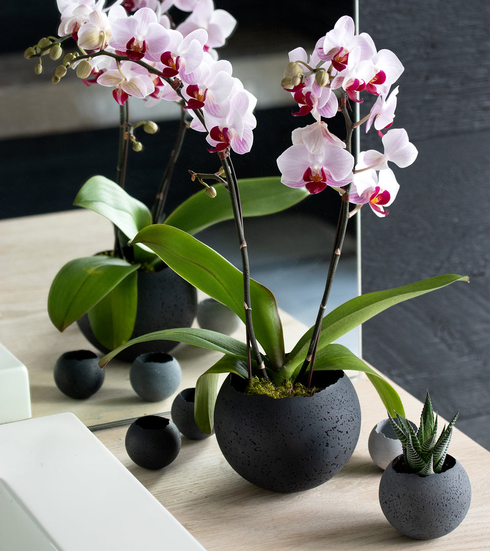 Black Orbis concrete vessel with pink orchid flowers.