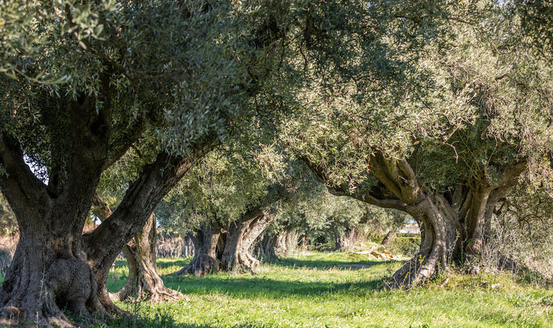 The Terroir of Olive Oil