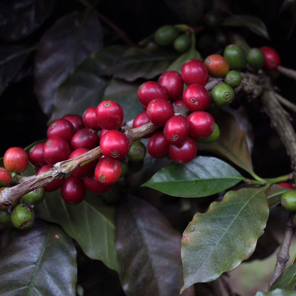 dogwood coffee cascara coffee cherry tea finca santa lucia