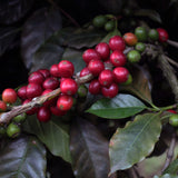 CASCARA COFFEE CHERRY TEA // FINCA SANTA LUCIA