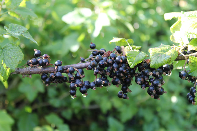 What You Need to Know About Blackcurrants and Skin Health
