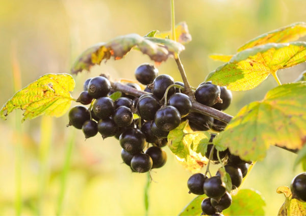 Picture of Organic Blackcurrants Hanging on a Branch