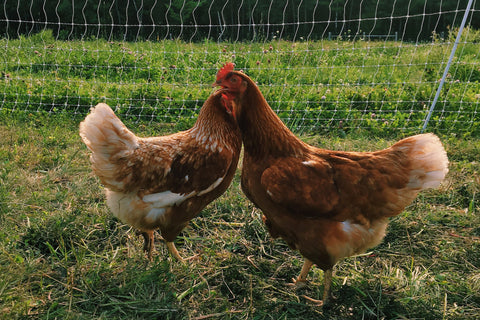 poule chicken regulation reglementation accepte allow city ville