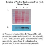 Minute™ Nuclear Proteasome Enrichment Kit (20 preps)
