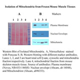 Minute™ Mitochondria Isolation Kit for  Muscle Tissues/Cultured Muscle Cells