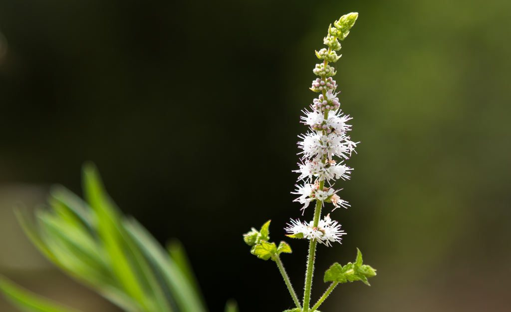 Black Cohosh - Nature's Balancer