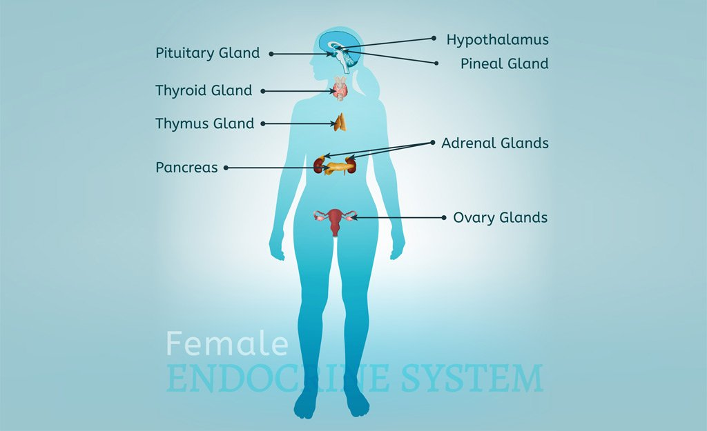 How the Endocrine System Affects Menopause