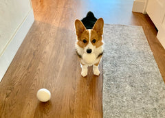 corgi plays with dryer ball