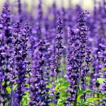 "Load image into Gallery viewer, Lavender, Population ""Highly Therapeutic"""
