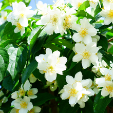 Load image into Gallery viewer, Jasmine, Grandiflorum Absolute 3%