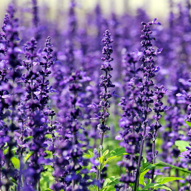 Lavender, French