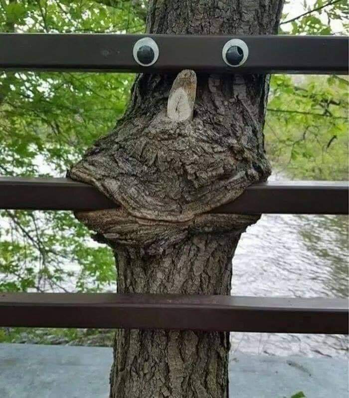 Tree grown around a fence