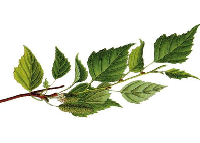 Birch (sweet) Essential Oil