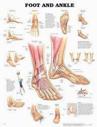 The Foot and Ankle Anatomical Chart