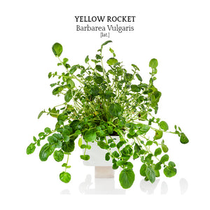Yellow Rocket (Barbarea Vulgaris)