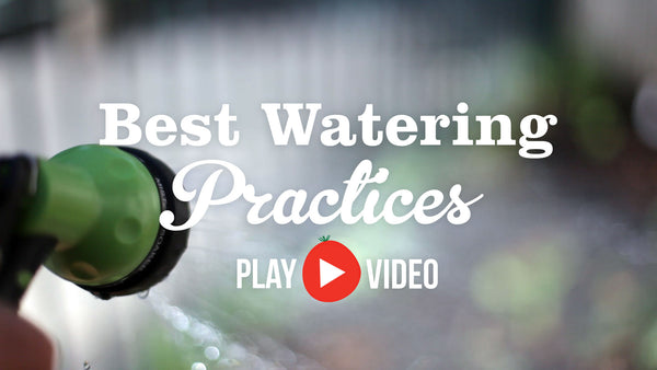 Best Watering Practices advice from the Little Veggie Patch Co